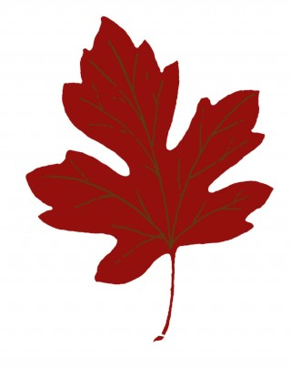 maple, maple leaf, autumn leaf color, flowering plant transparent background PNG clipart thumbnail
